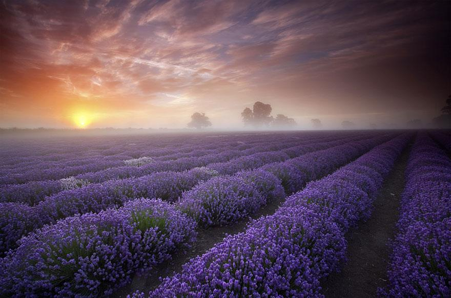 15. Lavender Fields - UK and France