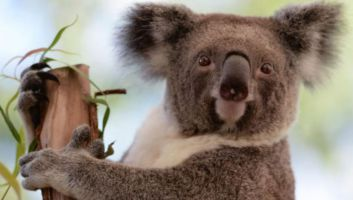 5 lieux où voir des koalas en Australie