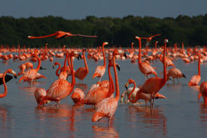 Celestùn et ses colonies de flamants roses