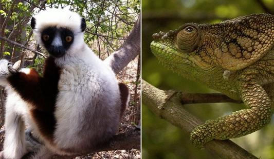 lémuriens et caméléons