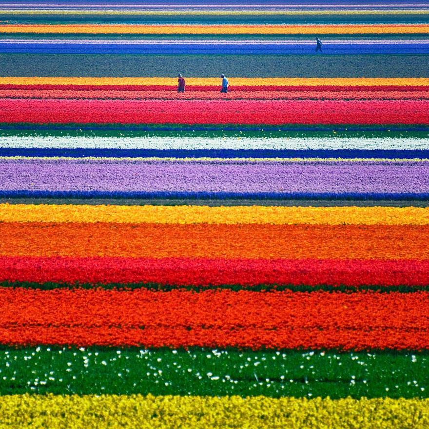 3. Tulip Fields - Netherlands