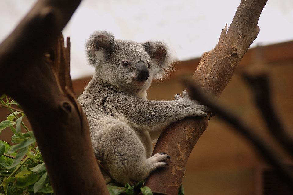 Magnetic Island - koalas et wallabies des rochers